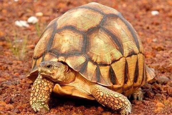 安哥洛卡陆龟需要排酸吗