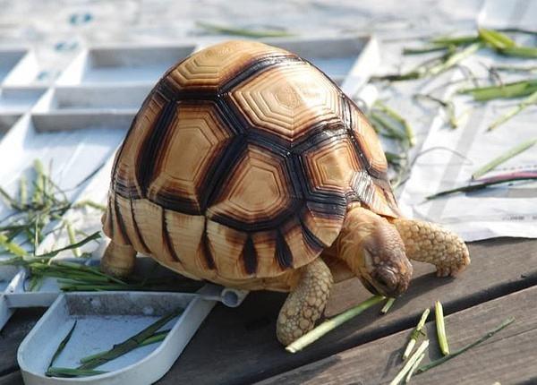 安哥洛卡陆龟好养吗