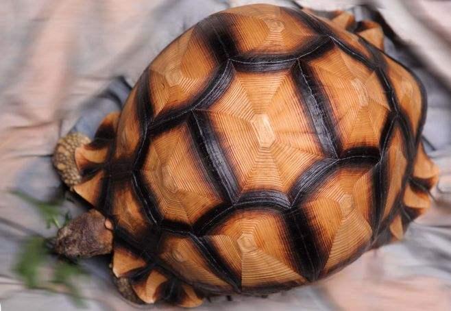 安哥洛卡陆龟怎么养