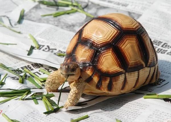 安哥洛卡陆龟如何饲养