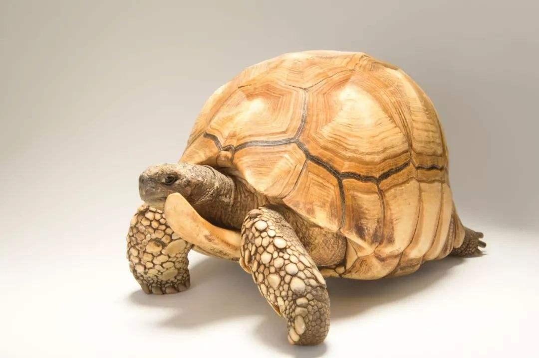 安哥洛卡陆龟吃什么