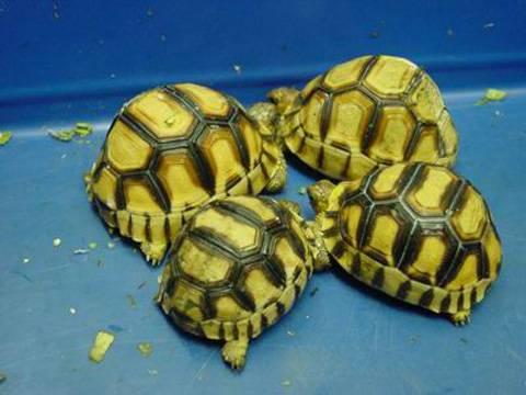 苏卡达与安哥洛卡陆龟的区别 安哥洛卡和苏卡达陆龟的区别