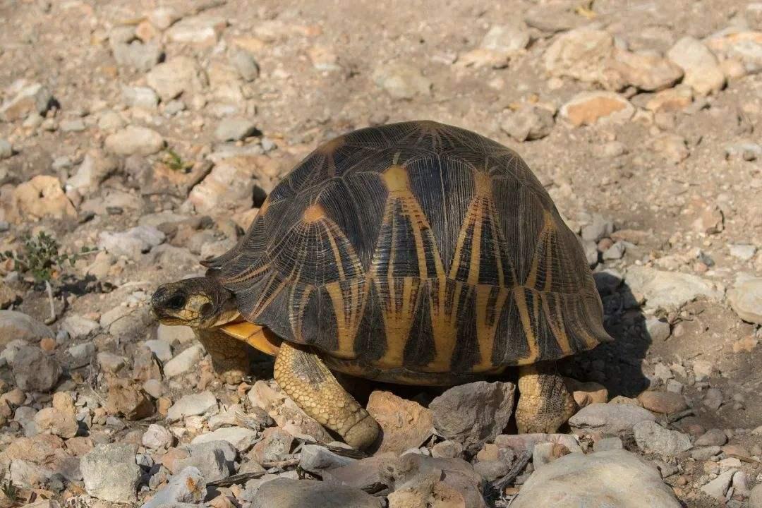 辐射陆龟的饲养