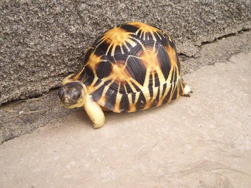 辐射陆龟吃什么菜好 辐射陆龟爱吃什么