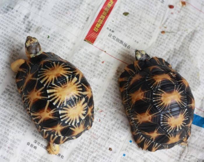 辐射陆龟繁殖 辐射陆龟多大可以繁殖