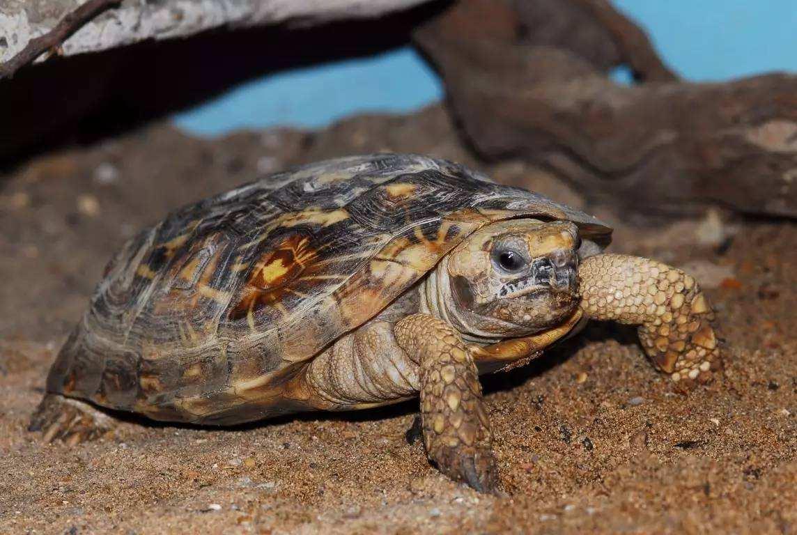 辐射陆龟需要排酸吗 辐射陆龟排酸吗
