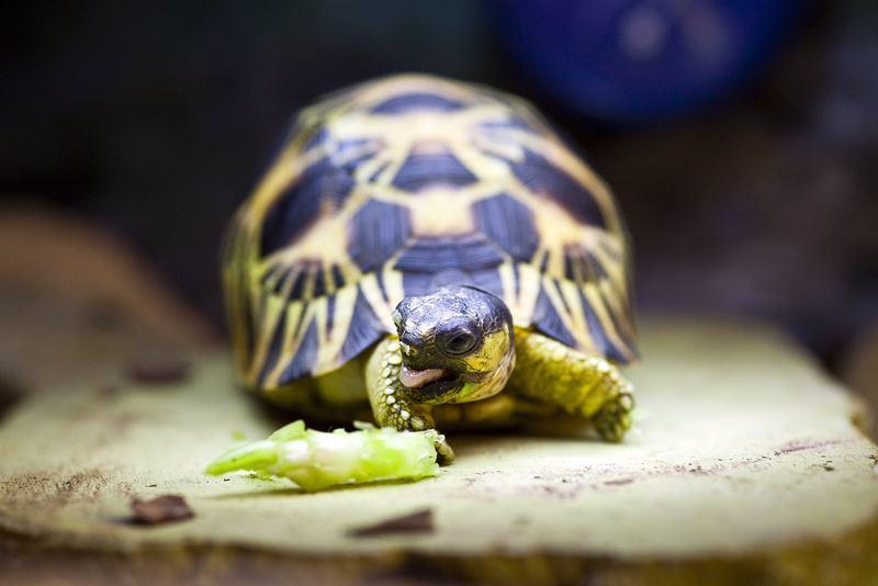辐射陆龟寿命 辐射陆龟寿命多长