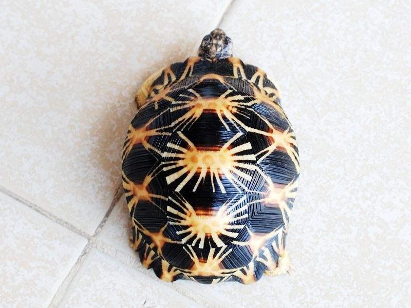 辐射陆龟怎么分公母 辐射陆龟如何看公母