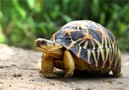 辐射陆龟温度要求 辐射陆龟最低温度