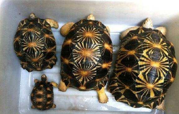 辐射陆龟好养吗 辐射陆龟怎么养