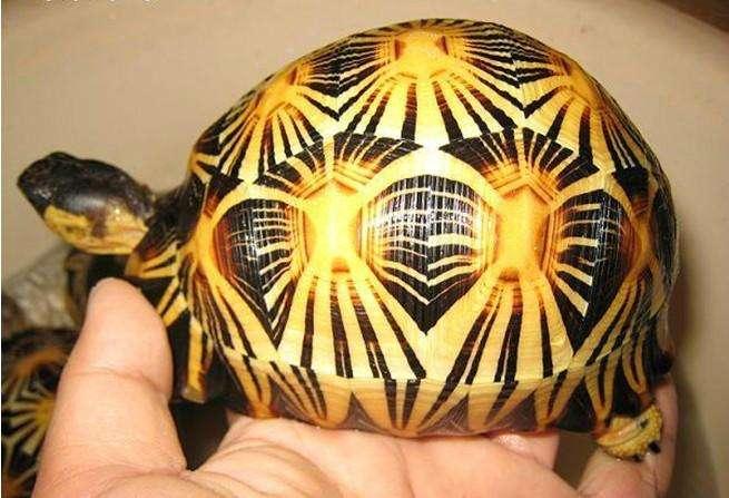 辐射陆龟饲养方法 辐射陆龟饲养心得