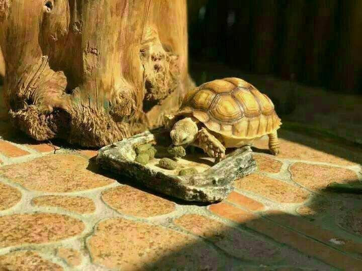 欧洲陆龟养两只会不会打架