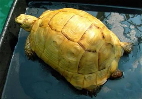 欧洲陆龟冬天要加温吗