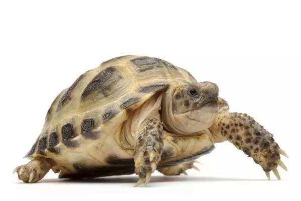 欧洲陆龟怎么冬眠 欧洲陆龟冬眠环境温度