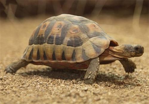 欧洲陆龟认识主人的表现