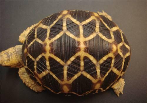 缅甸星龟的饲养 缅甸星龟饲养难度