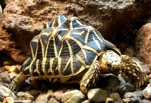 缅甸星龟能活多久