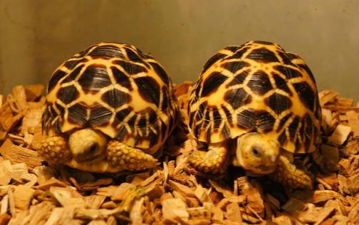 缅甸星龟的繁殖