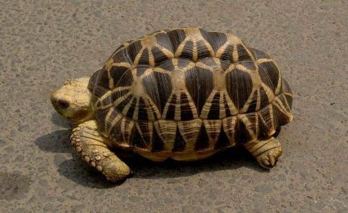 缅甸星龟多大可以繁殖