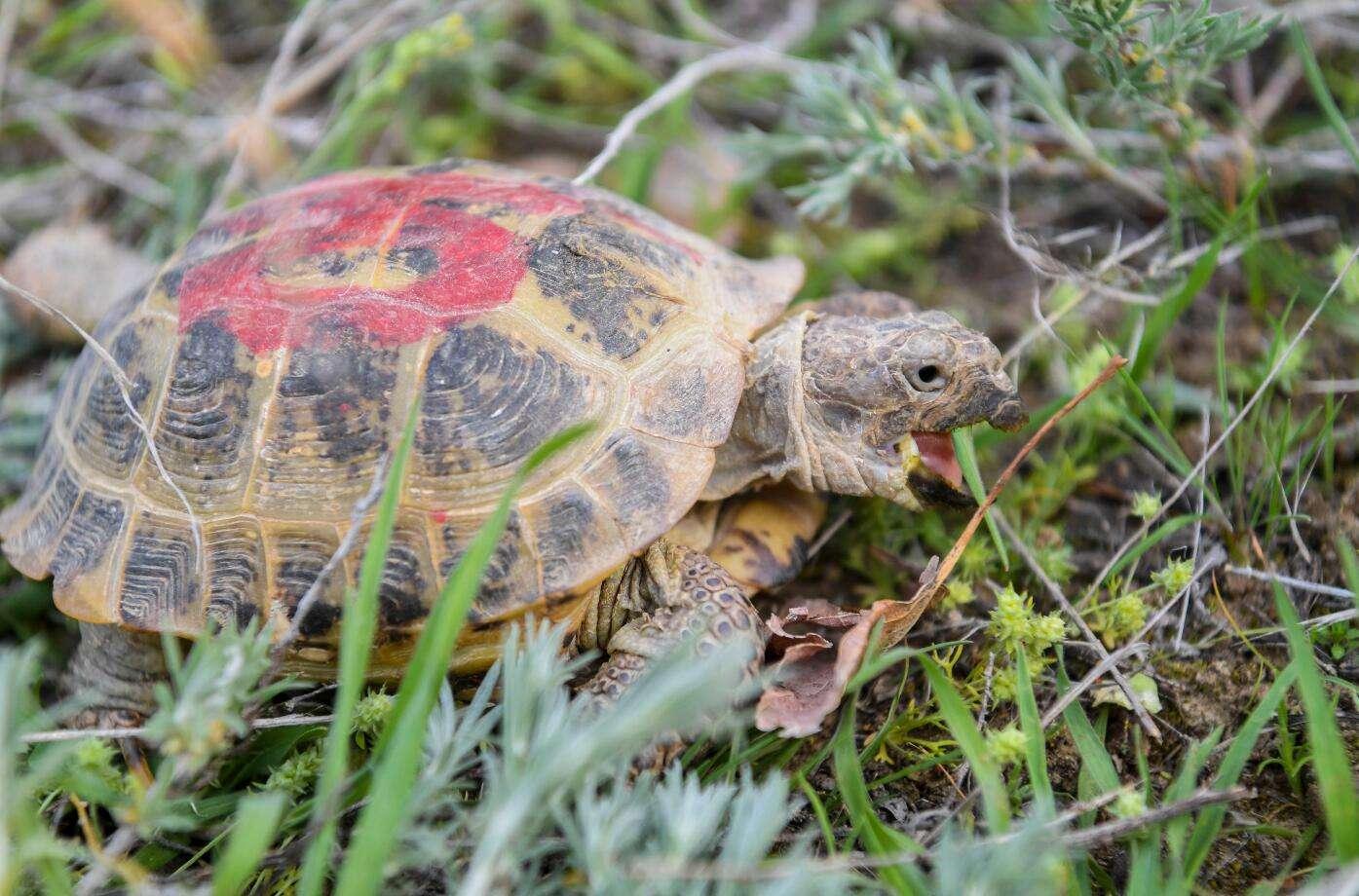 四爪陆龟是保护动物吗