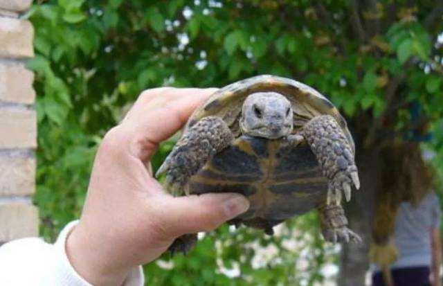 四爪陆龟是几级保护动物