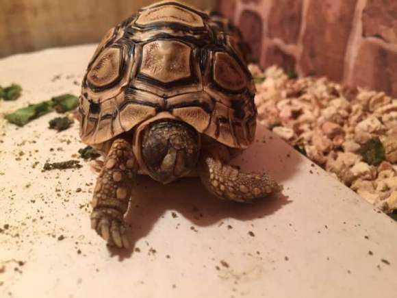 四爪陆龟可以冬眠吗