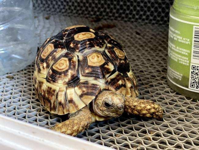 四爪陆龟繁殖 四爪陆龟的繁殖方式