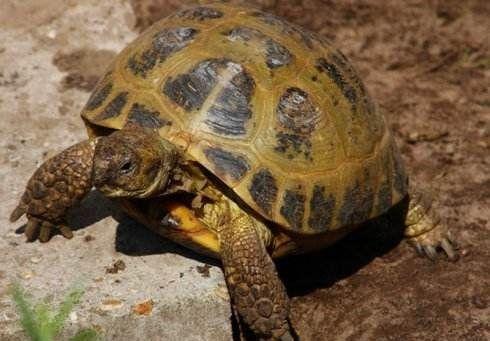 四爪陆龟怕热吗