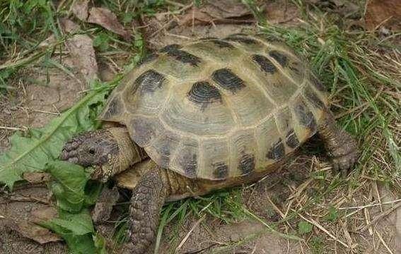 四爪陆龟需要水盆吗
