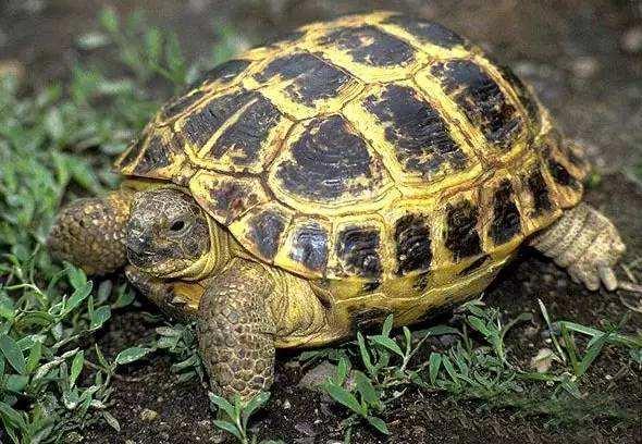 四爪陆龟怎么养