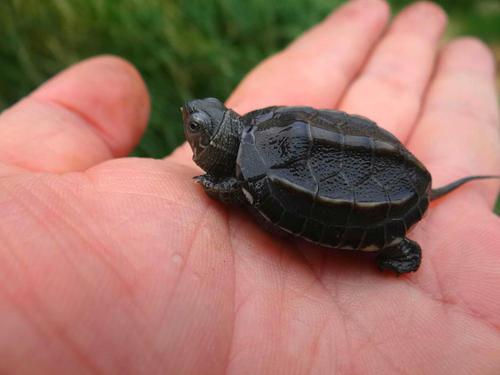 中华草龟喜欢主人的表现