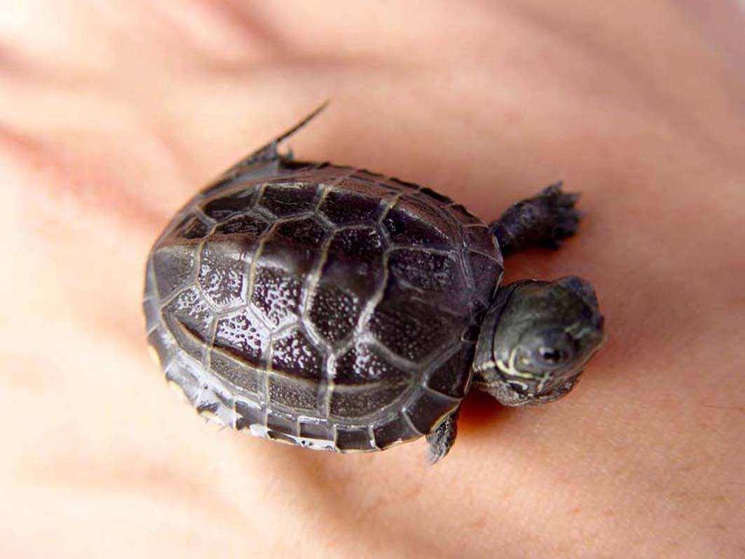 中华草龟讨厌主人的表现