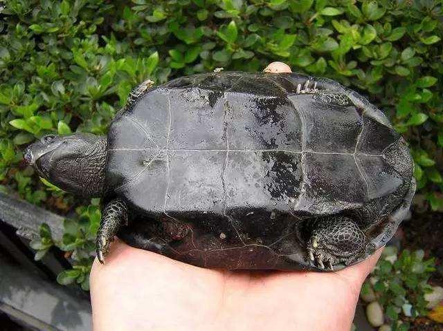 中华草龟怕冷吗