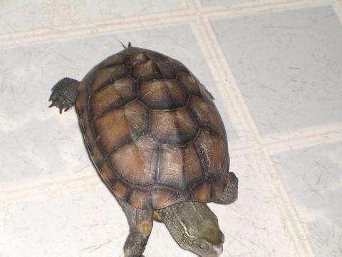 中华草龟寿命 中华草龟的寿命一般多少年