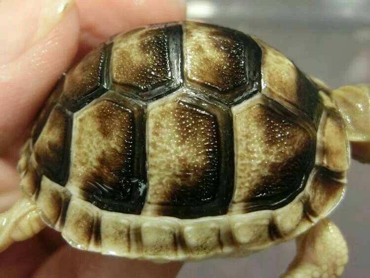 缘翘陆龟会自己排酸吗 缘翘陆龟排酸吗