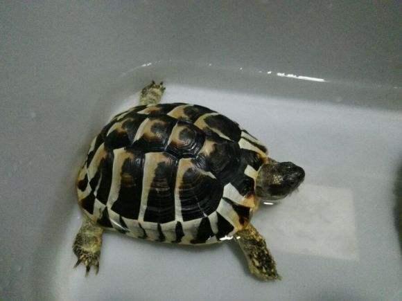 翘缘陆龟吃什么 翘缘陆龟吃什么