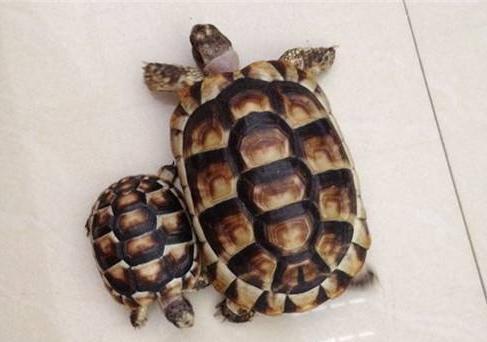 缘翘陆龟如何挑选 缘翘陆龟怎么挑选