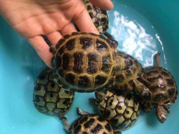 翘缘陆龟最低饲养温度 缘翘陆龟饲养温度
