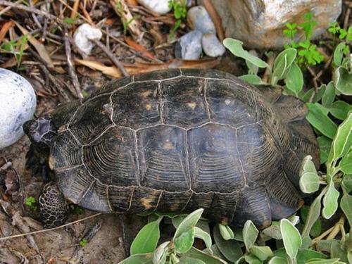 翘缘陆龟多大可以繁殖