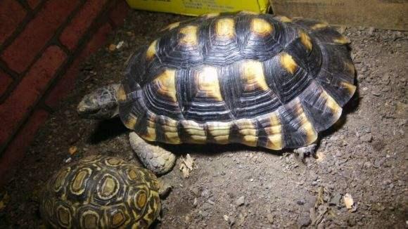 缘翘陆龟寿命 翘缘陆龟寿命