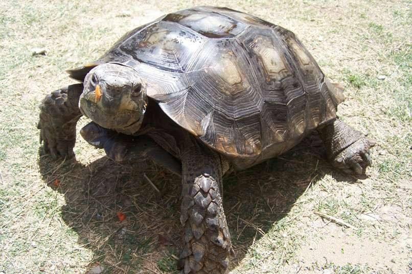 靴脚陆龟吃草吗