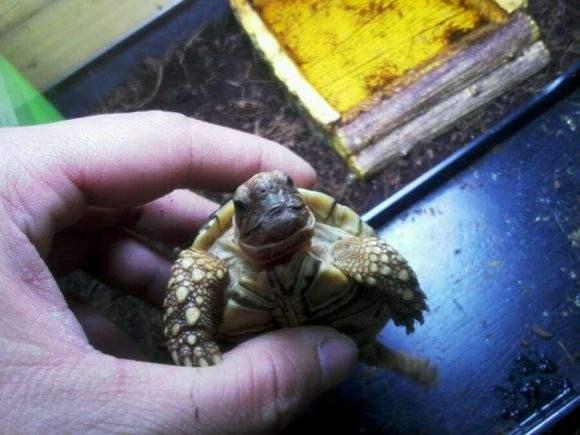 靴脚陆龟可以吃西瓜吗