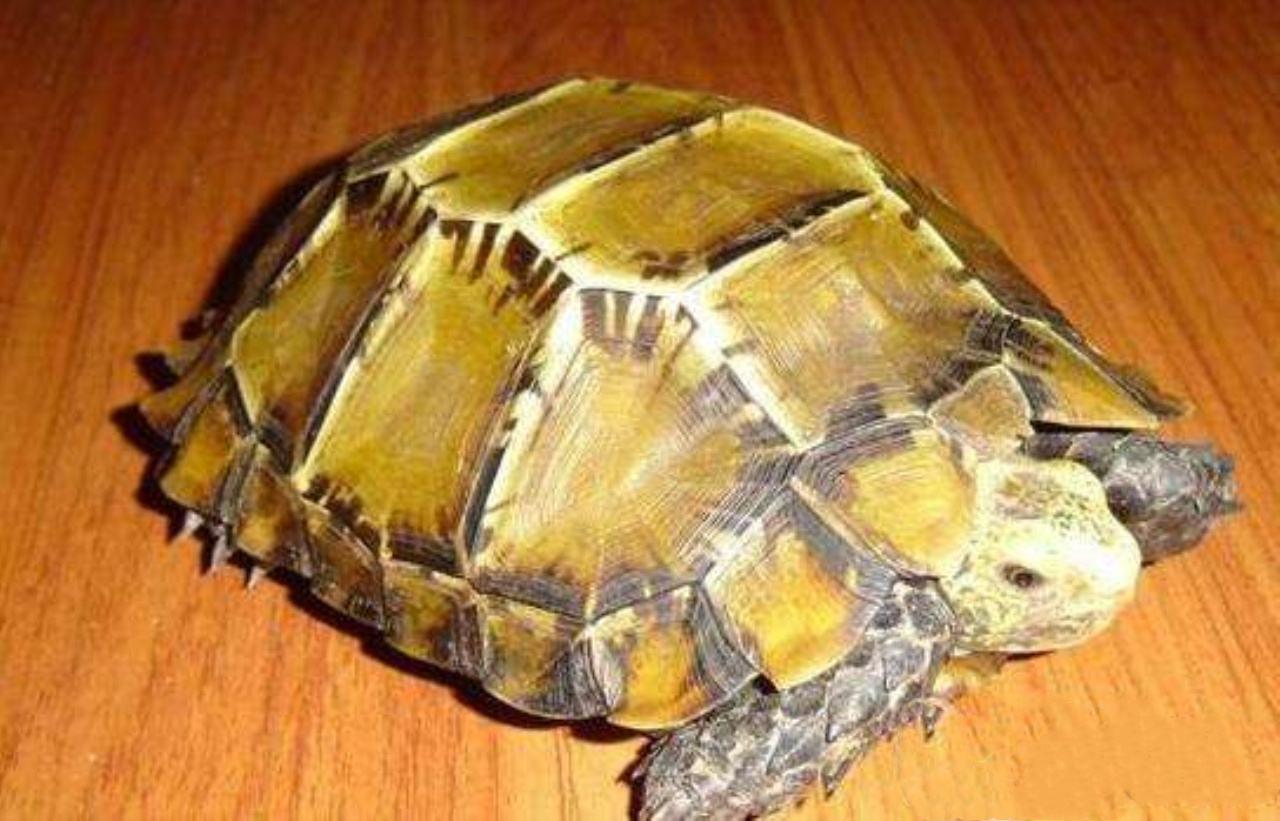 靴脚陆龟性格 靴脚陆龟的性格怎样