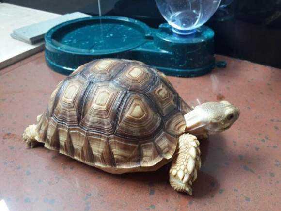 靴脚陆龟是保护动物吗 靴脚陆龟是保护动物嘛
