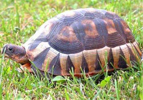 翘缘陆龟是不是挺胸龟