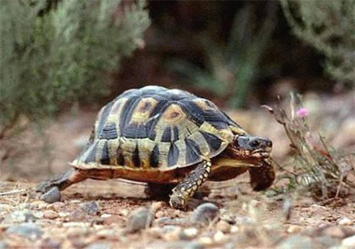 挺胸龟怎么训练