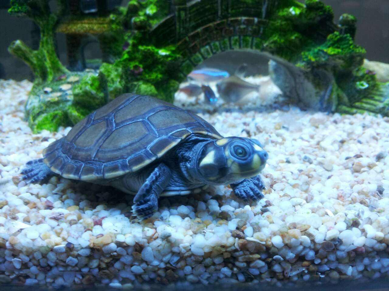 黄头侧颈龟寿命