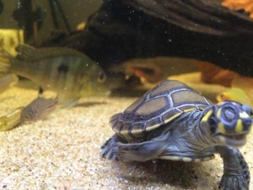 黄头侧颈龟能活多少年