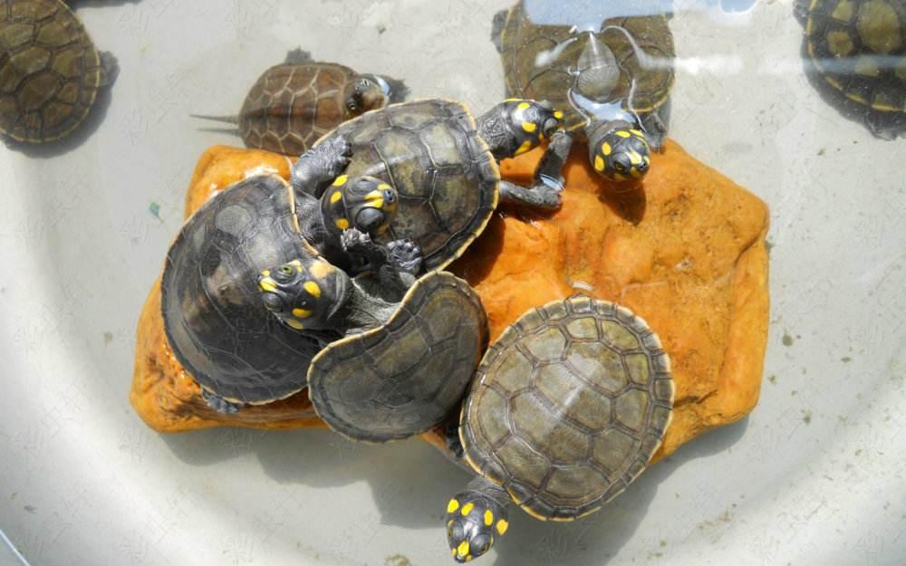 黄头侧颈龟需要晒台吗