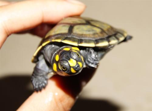 黄头侧颈龟咬人吗